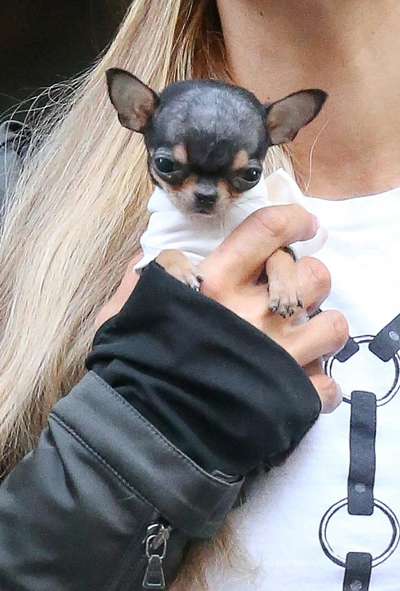 paris-hilton-teacup-chihuahua-oct-2016-03
